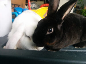 2 bunnies | Litter trained, neutered, and young