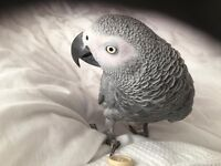 10 Year Old African Grey