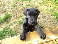 Great Dane Pupppy