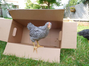 Barred Plymouth Rock Rooster (FREE)