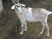 Friendly  Dwarf PET Goats