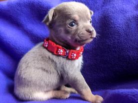 Pedigree Lilac and Blue Chihuahua puppies
