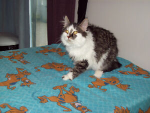 BIG AND BEAUTIFUL FEMALE XL PUREBRED MAINE COON KITTEN 10 MONTHS