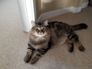 Male Maine Coon looking for a forever home.