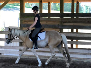 4 Year Old Welsh Cob Palomino Mare For Sale
