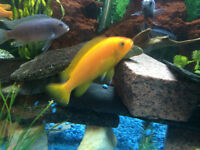ADULT ELECTRIC BLUE  AFRICAN CICHLIDS AND FRY