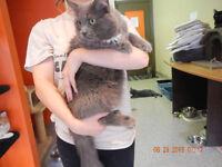 RUSSIAN BLUE MIX!  -- Fixed & Vaccinated  -- @ Small Things