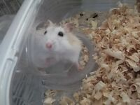 Looking for a nice family to take care of a hamster
