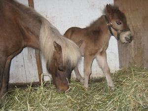 Mini Horse Herd Reduction Kawartha Lakes Peterborough Area image 1