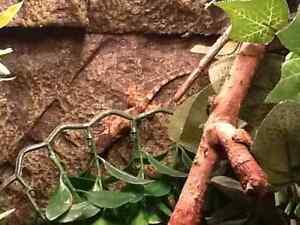 Halmahera Gecko hatchling