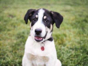 Bernese Mountain dog x Border Collie Pups