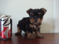 Only 1 teacup size Yorkie puppy left - Boy