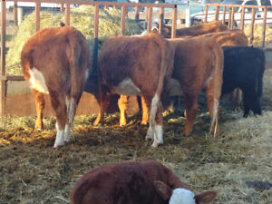 Bred Hereford Heifers..some with calves.