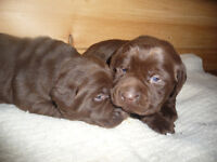 Chocolate Lab Puppies - ONLY 1 MALE LEFT!!!