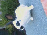 english spot x rabbits available