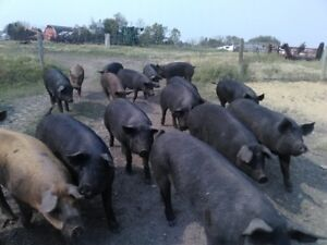 BUTCHER PIGS FOR SALE