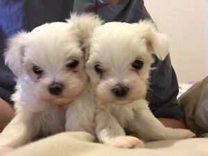 Maltese puppies ready to go in 2 weeks!
