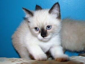 Ragdoll siamese kittens for sale.+