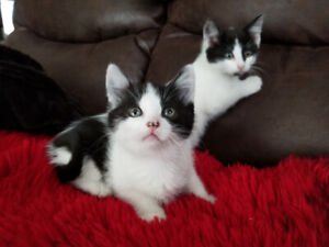 Cute black and white Patch Kittens