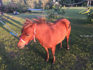 Adorable kids mini mare for sale