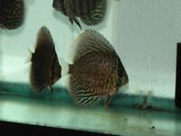 ( High Fin  ) Checker Board DISCUS/Dwarf Locahes