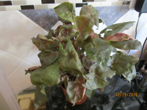 Nephthytis (Butterfly Arrowhead) Plant - Air Purifying