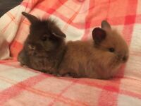 Baby mini lion lops for sale
