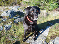 WANTED: Labrador (or cross) for our home