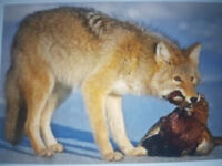 Coyote Hunting/Trapping Land Wanted