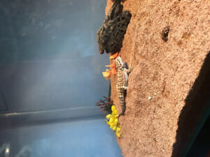 Bearded dragon for rehoming only a baby still