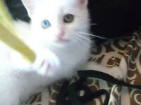 Pure White one blue eye and one green Himilayan Persian kitten