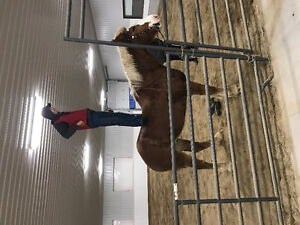 Big Goofy Draft Horse for Lease