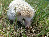 Rare adult male pigmy hedgehog.