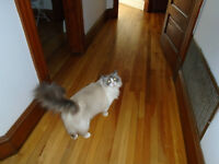 Beautiful Registered Ragdoll Cat Looking for New Home