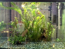 Guppies - 20+ fishes for £10