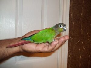 HAND FED AND TAME GREEN CHEEKED CONURE