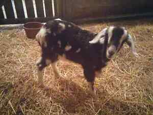 5 month old pygmy / apline goat - castrated and dehorned