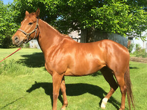 Thoroughbred  mare à vendre