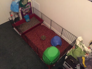 Two Female Guinea Pigs & Accessories