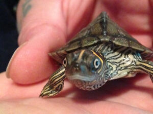 Wanted. Approx 2-3 yr old Mississippi map turtle.