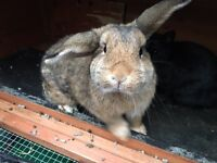 2 rabbits with indoor hutches for sale, £15 each or £25 for both.