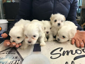 Maltese | Adopt Dogs & Puppies Locally in Saskatchewan