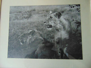 Lion Print given by The Archbiship of East Africa 1965 London Ontario image 2