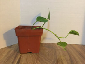 Ivy Plant  Indoor Houseplant