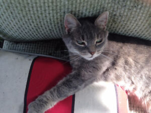 Missing Small Grey Tabby Cat Old West End Area