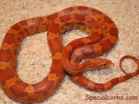 Two corn snakes