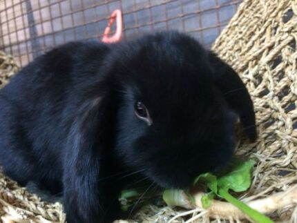 Beautiful VC mini lop pure breed ready now