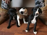Boxer crossed whippet puppies