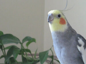 Cockatiel for Fostering/Adoption Peterborough Peterborough Area image 1