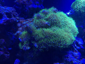 Green Star Polyp & Green Button Polyp Corals (Marine Reef Tank)